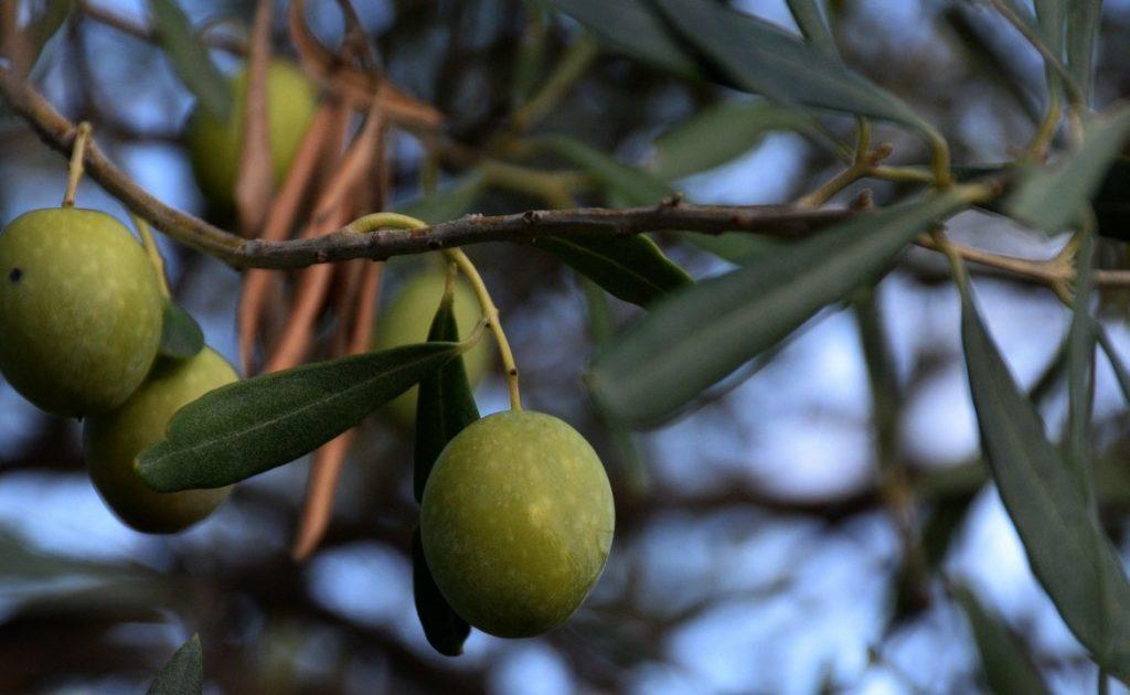 olive-tree-2952577_1920-1170x720